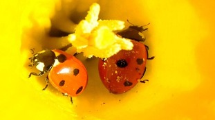 Ladybirds in a daffodil