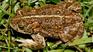Toads are under threat and need more wet spaces