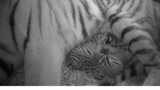 CCTV shows Sveta with her two tiger cubs