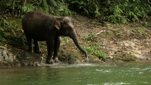 Raja, a wild baby Sumatran elephant, has been captured by locals.