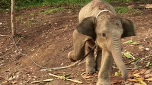 Raja the elephant has been captured by villagers close to a palm oil plantation in Indonesia.