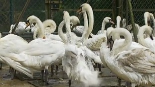 Swans hit by mystery oil spill