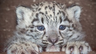 'Cub X' is the first snow leopard to be born at Dudley Zoo for 12 years