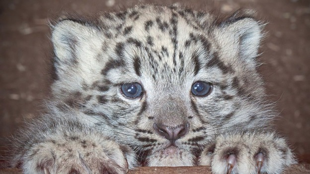 Cub X Is The First Snow Leopard To Be Born At Dudley Zoo For