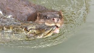 An otter with a pike in tow