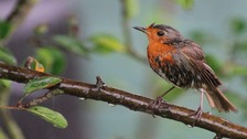 wet robin after being caught in the rain
