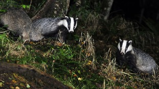 Badgers could be given the contraceptive pill to fight the spread of TB.