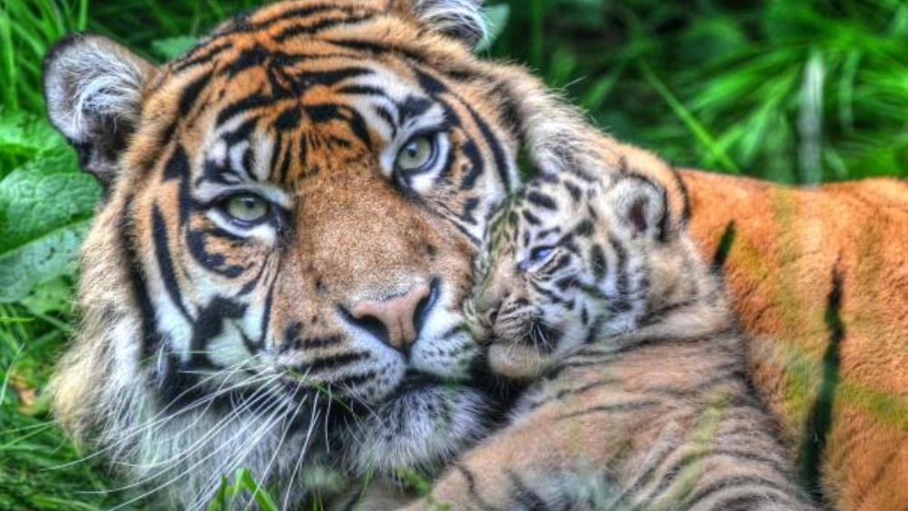 Rare tiger twins make their debut at Chester Zoo | Granada ...