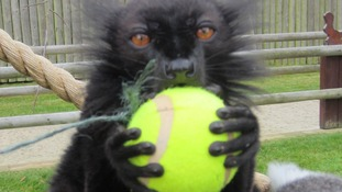 Lemur with tennis ball