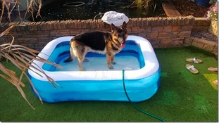 Alsation in paddling pool