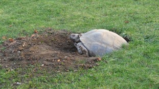 The female tortoise laying her eggs