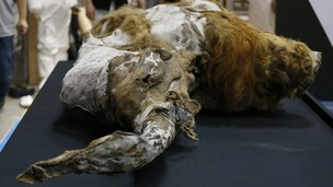 The 39,000-year-old female woolly mammoth has been named Yuka.