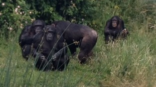 Chimpanzees, including Phil and Nikki, at ZSL Whipsnade Zoo