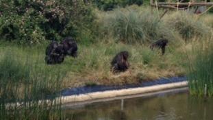 Chimpanzees at ZSL Whipsnade Zoo