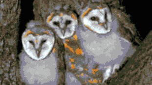 Three barn owl nests recorded at the Countryside Restoration Trust's Lark Rise Farm, at Barton, Cambridgeshire