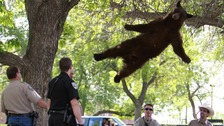 The tranquilised bear falls from a tree to a crash mat below