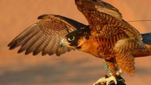 how to keep falcons away