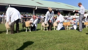 Judging the sheep on the showground