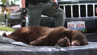 The tranquilised bear lies on a crash mat after falling from a tree.
