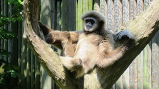 Ulu the lar gibbon sits back and relaxes in the sun at the zoo in East Sussex.