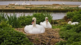 Swans on nest