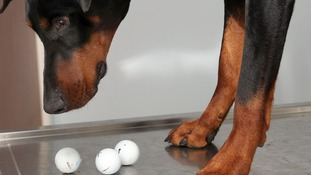 Azar the Doberman and golf balls