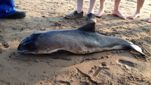 Porpoise on Minehead beach