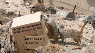 Meerkats at Dudley Zoological Gardens.