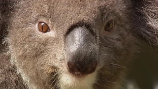 Koala bears have been listed as threatened species in parts of Australia