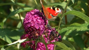 Butterfly on a purple flower