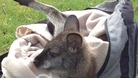 Orphaned baby wallaby Tiny Tilly