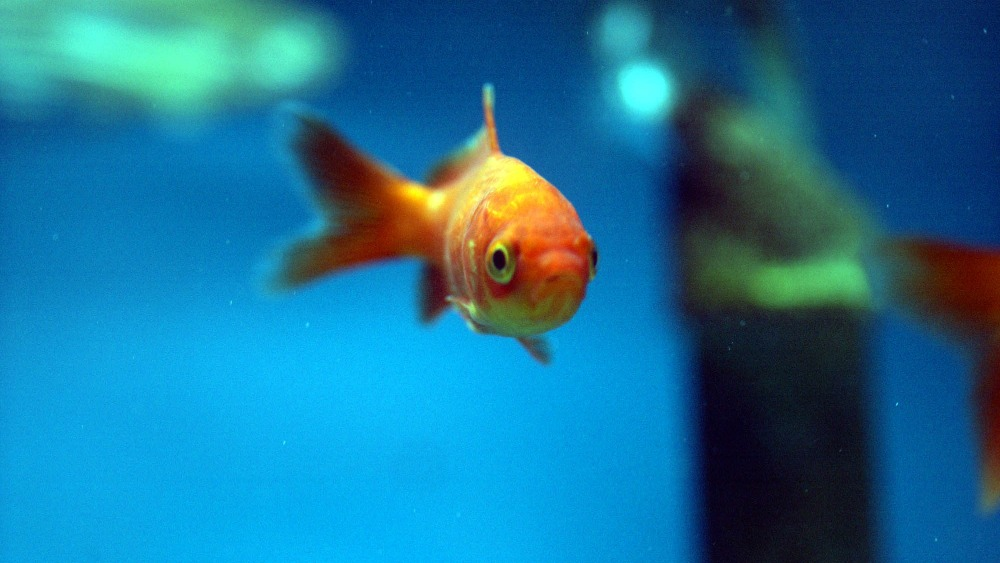 Tank toys can make your goldfish smarter