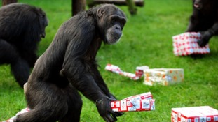 One of the chimps at Twycross Zoo in 2009