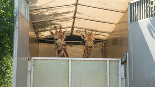 giraffes in truck