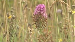 Orchids bloom in Wildlife Trust beauty spots