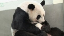 Yuan Yuan is reunited with her cub for the first time.