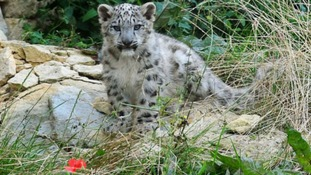 The baby snow leopards will be on full view for the first time today