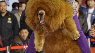 A man holds up his Tibetan mastiff
