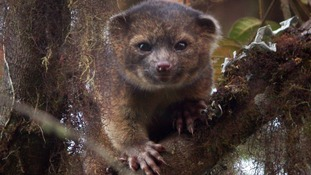 The Smithsonian Institute released this picture of the Olinguito.
