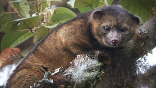 The olinguito lives in the cloud forests of Colombia and Ecuador.