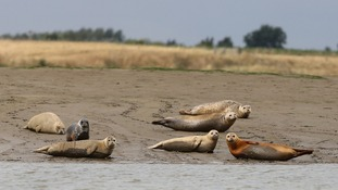 A group of harbour seals near Whitstable, Kent,
