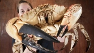 giant crab with Sea Life worker Jemma