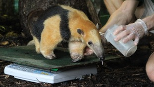 Tammy, the Tree Anteater is weighed