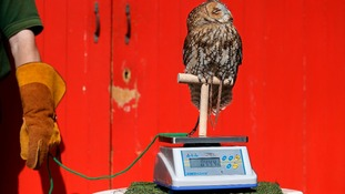 Alberta, a Tawny Owl, perches on a scale