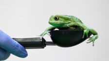 A waxy monkey tree frog is weighed in a measuring device