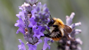 Bumblebees fly a mile for food