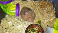 Houdini the hamster