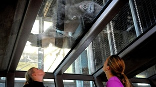 Jock, one of Bristol Zoo's gorillas, lies on the glass roof of the new viewing area in the extended Gorilla House.