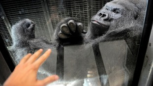 Visitors to Bristol Zoo can get up close and personal with Jock and the other gorillas.
