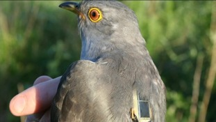 A bird charity in Norfolk has done research to find out why Cuckoo numbers are dying out